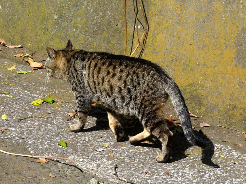 歩いてくキジトラ猫1