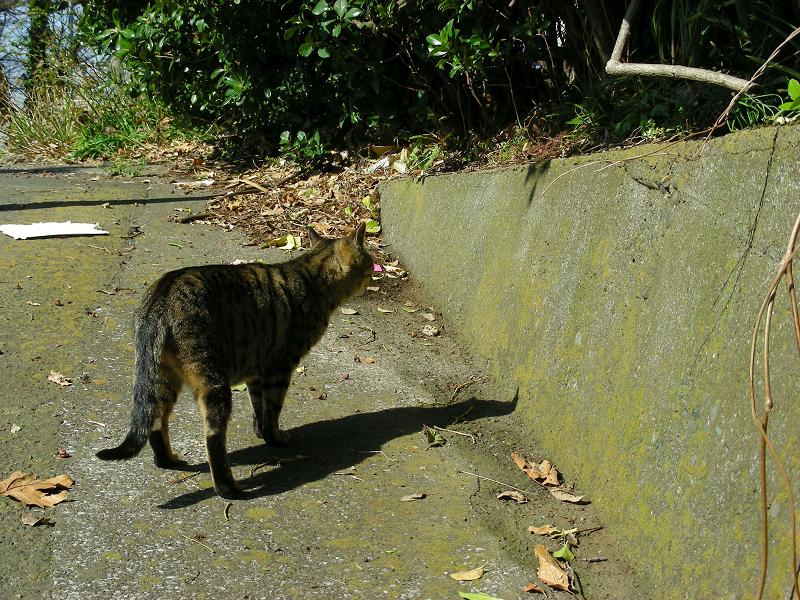 スロープを歩くキジトラ猫2