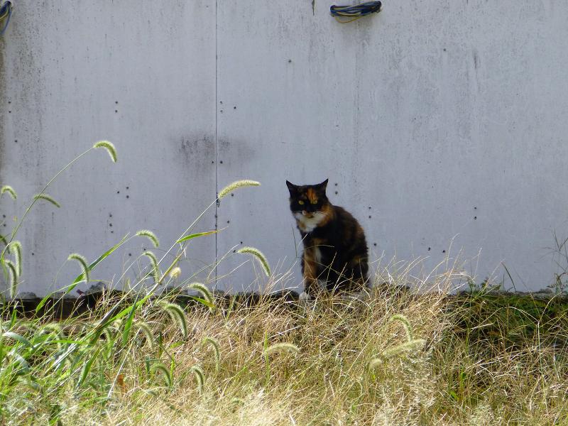 朝の街なか空き地の猫3