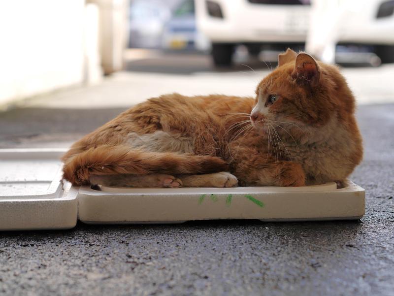 トロ箱蓋上の茶白猫1