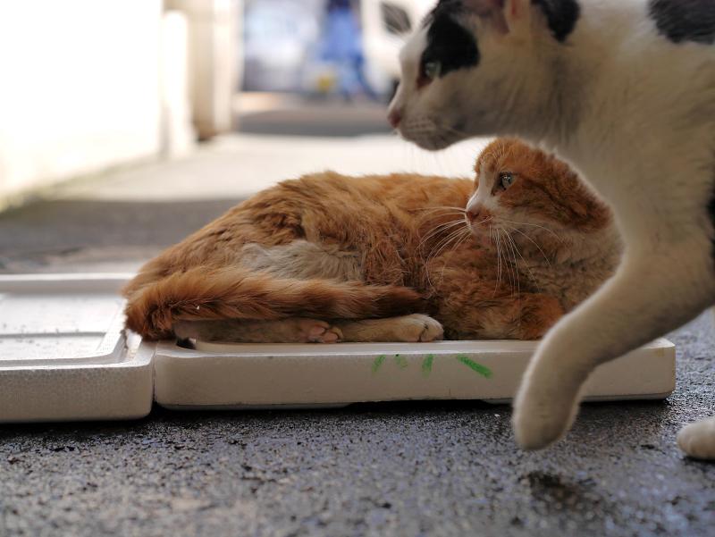 トロ箱蓋上の茶白猫2