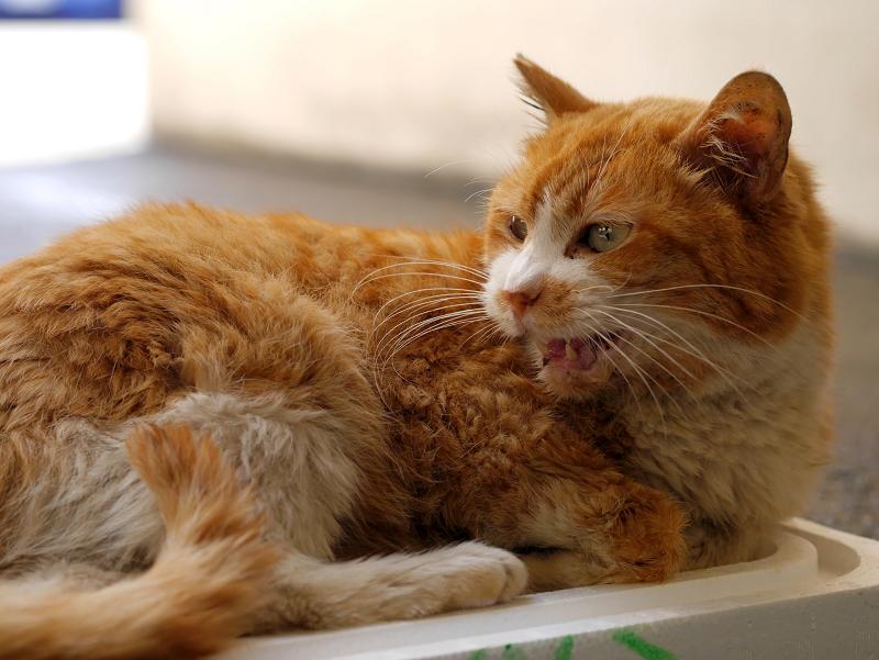 トロ箱蓋上の茶白猫4