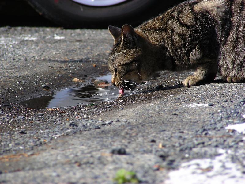 水を飲んでるキジトラ猫2