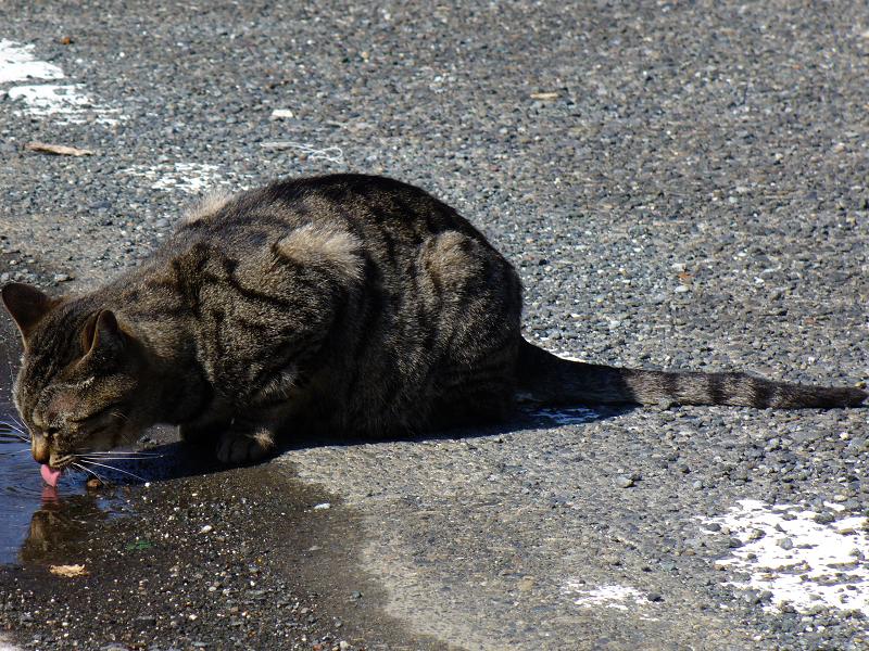 水を飲んでるキジトラ猫1