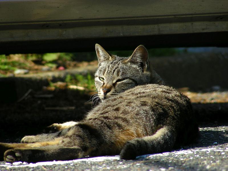 車の横で寝始めたキジトラ猫2