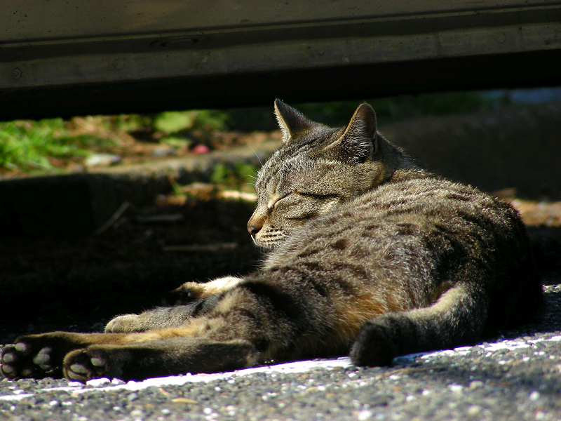 車の横で寝始めたキジトラ猫3