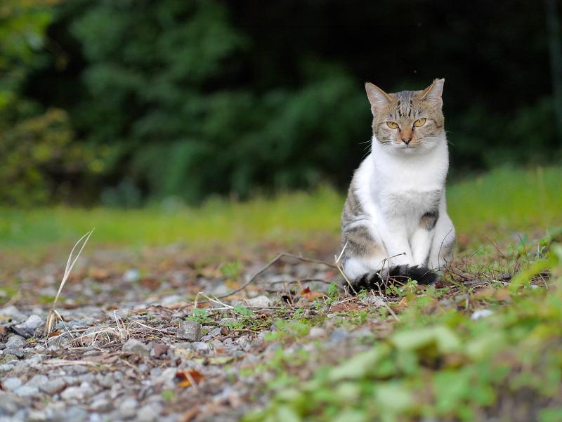 駅近くの空き地のキジ白猫1