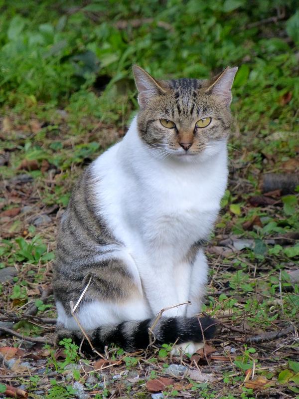 駅近くの空き地のキジ白猫2