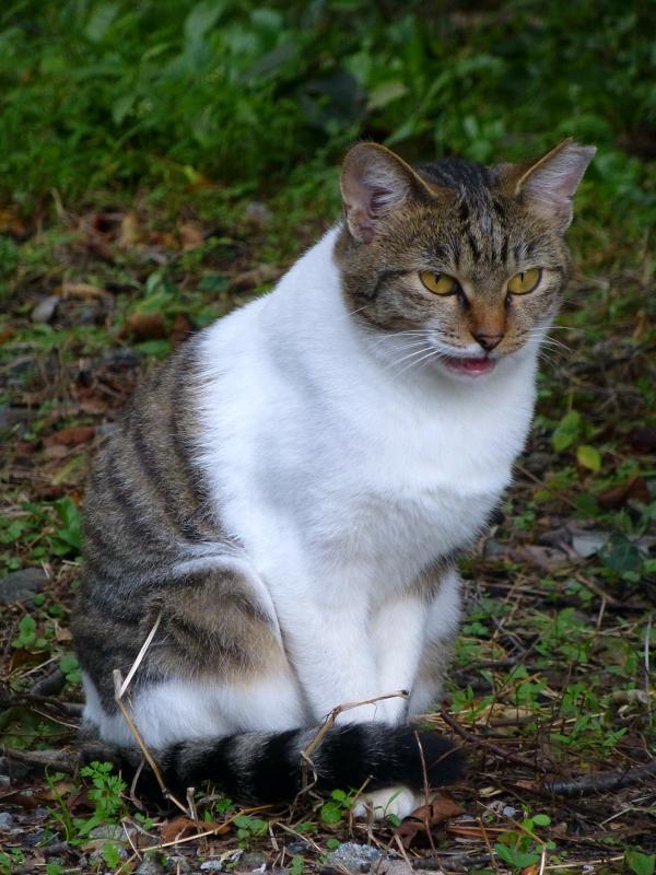 駅近くの空き地のキジ白猫3
