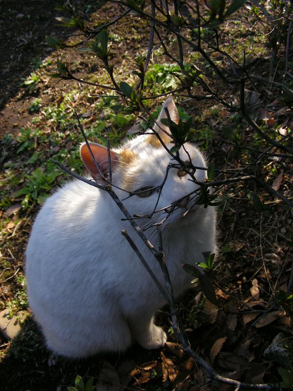 公園茂みの白三毛猫2