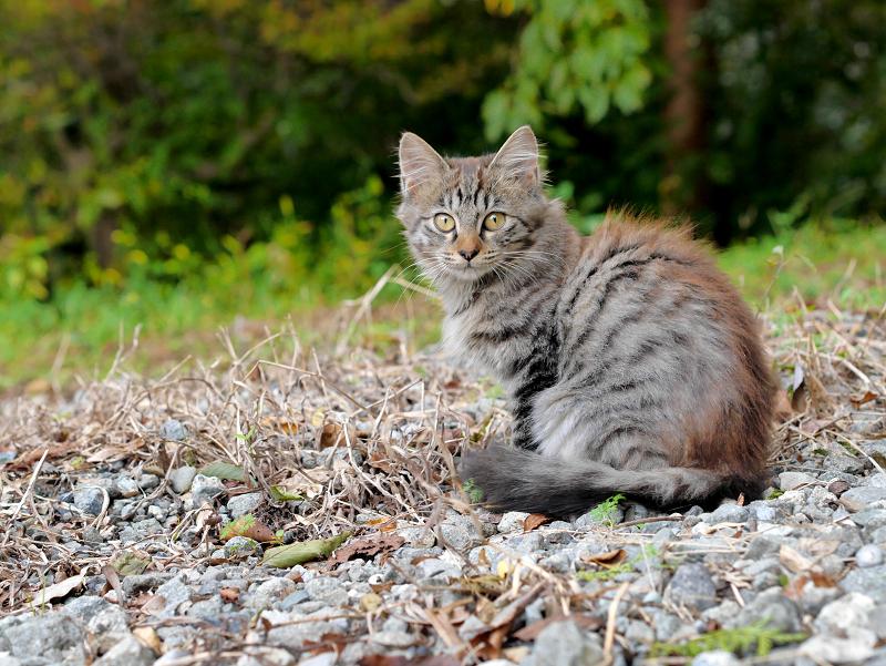 駅近くの空き地の毛長のキジトラ猫1