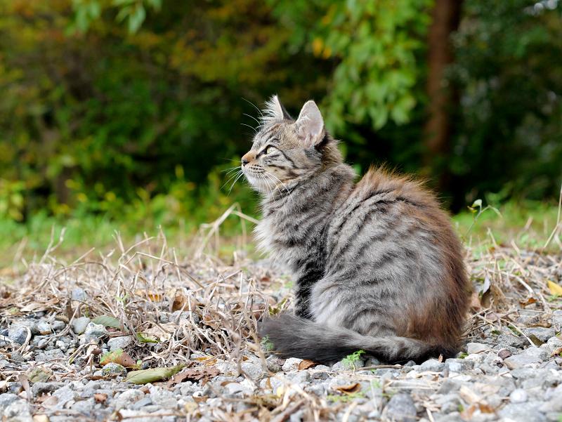 駅近くの空き地の毛長のキジトラ猫2