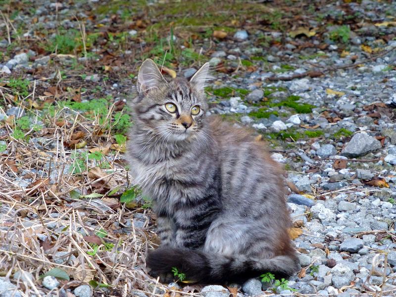 駅近くの空き地の毛長のキジトラ猫3