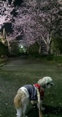 yozakurakiitonn.png