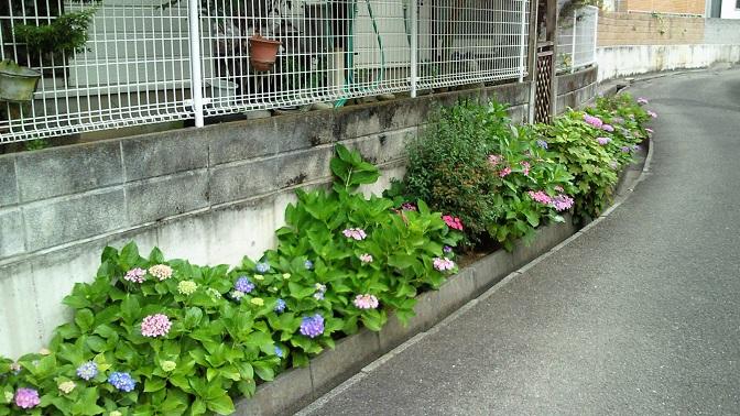 2016紫陽花