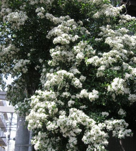 aピラカンサスの花-1