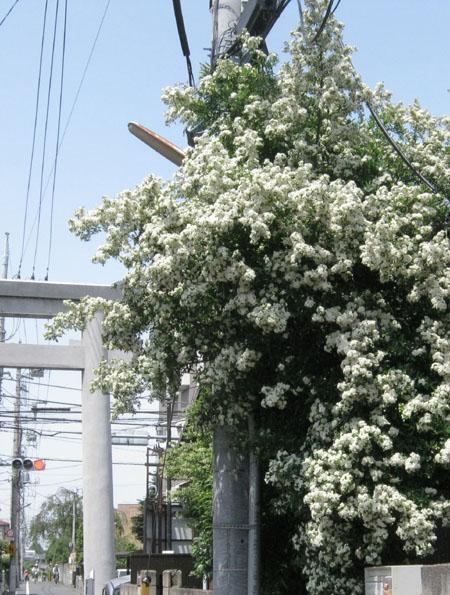 aピラカンサスの花-3