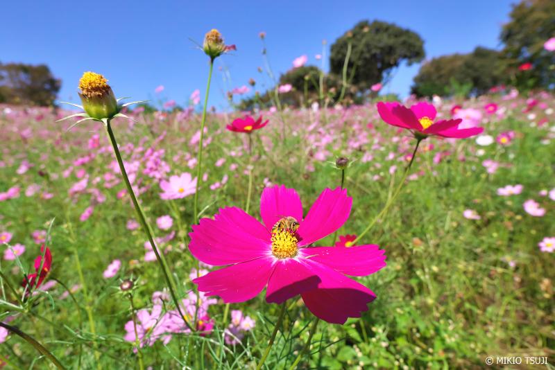 絶景探しの旅 - 0746 秋桜の花の丘 (昭和記念公園/東京都 立川市)