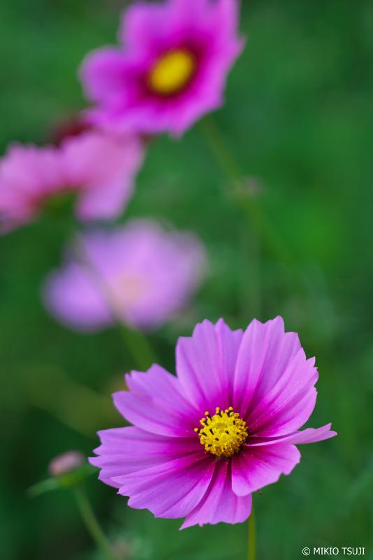 絶景探しの旅 - 0747 赤紫のセンセーションなコスモス「ラジアンス」 (昭和記念公園/東京都 立川市)